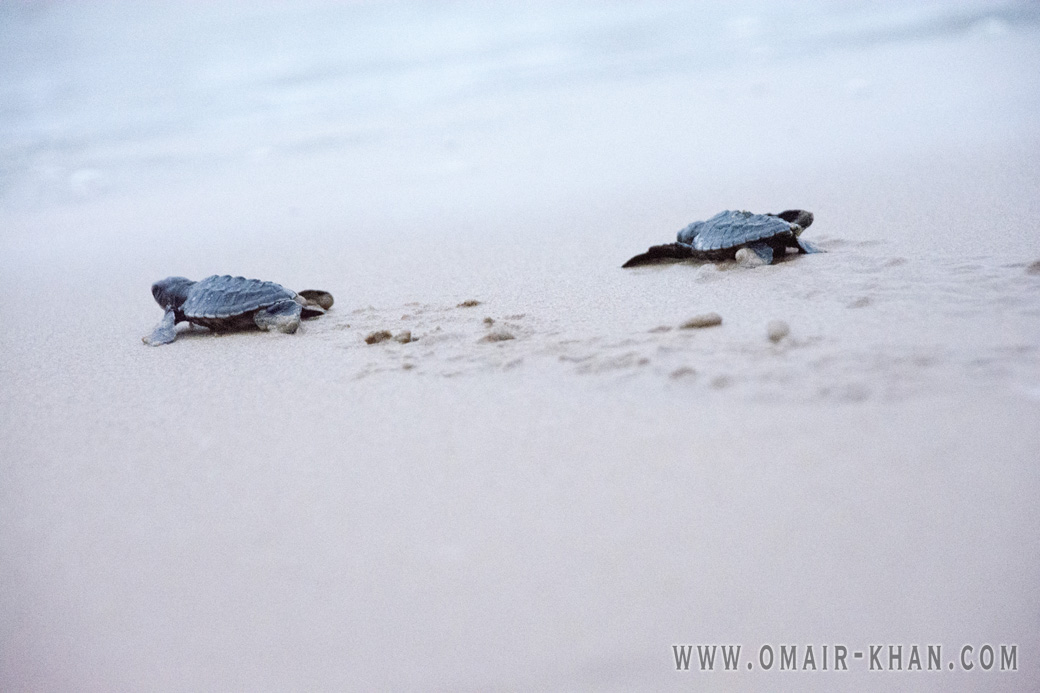 Baby turtles dash for the sea in Kosgoda, Sri Lanka