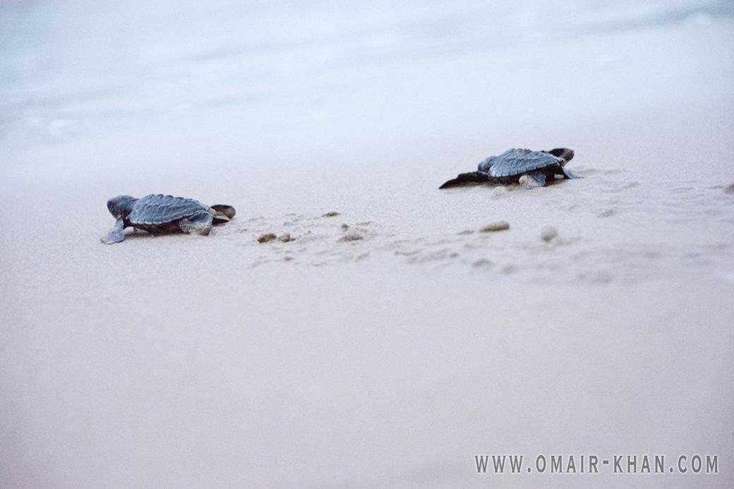 Baby turtles dash for the sea in Kosgoda, Sri Lanka
