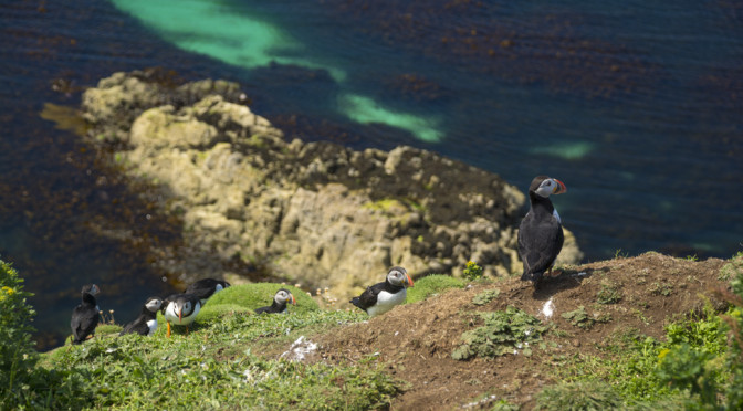 Puffins on Lunga, Treshnish Isles