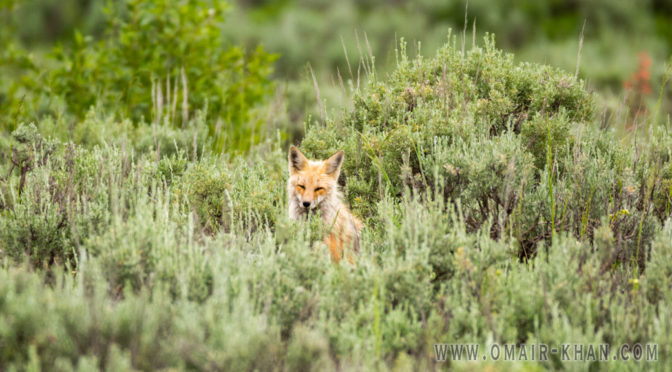 Foxes at Craig Thomas Discovery Center, Grand Teton National Park, Wyoming