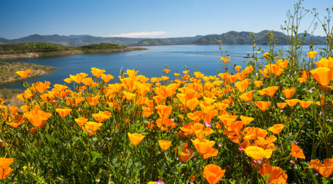 Diamond Valley Lake Wild Flowers, Hemet, CA